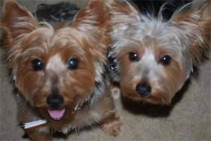 Jax_and_Bella_Yorkies