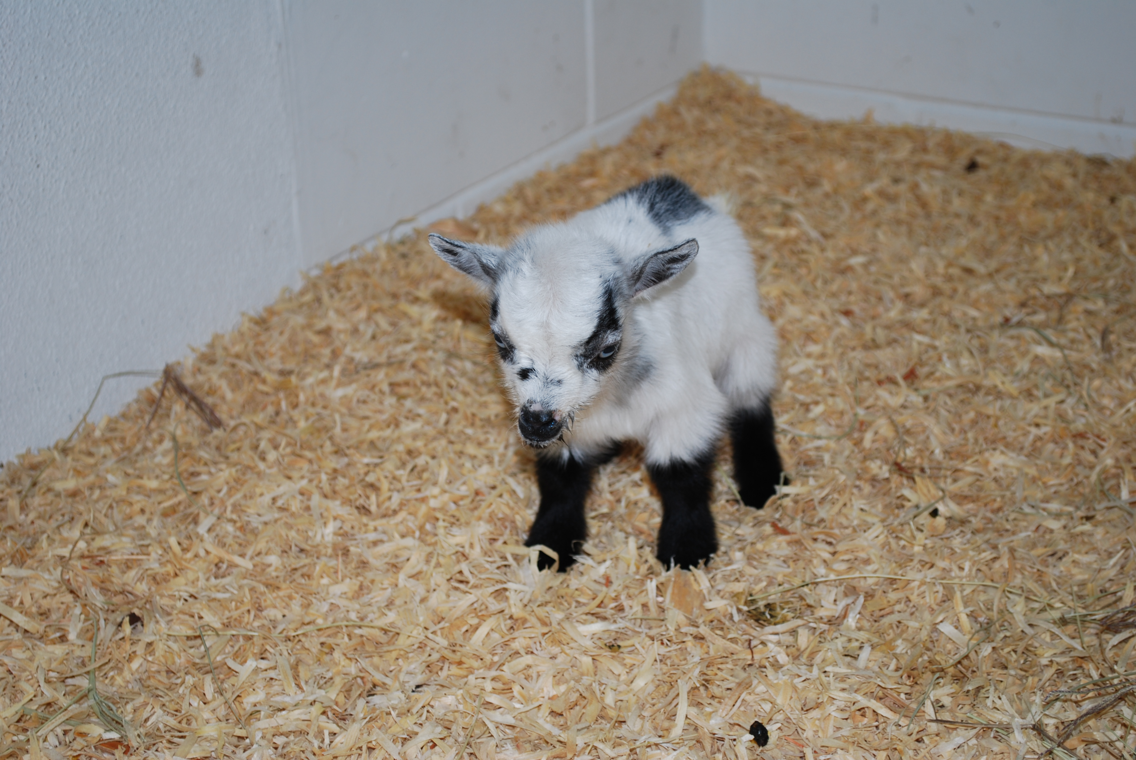 Baby Goat Jumping Baby...