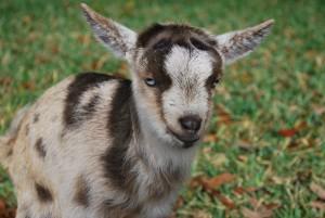 Christmas Baby Goat